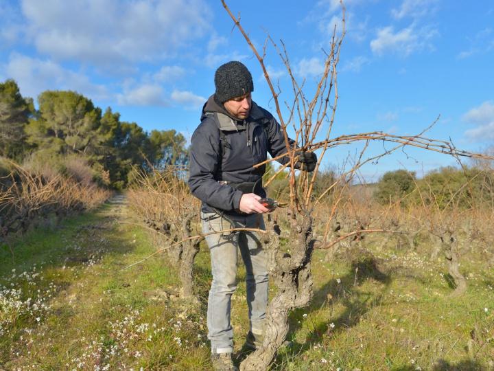 Le travail hivernal dans les vignes du Domaine Beauchamp
